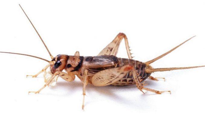 Feeder cricket