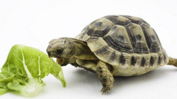 Tortoise eating