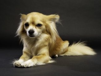 A long-haired chihuahua