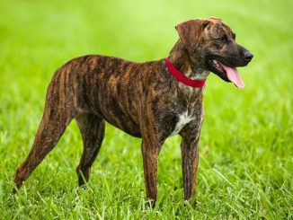 treeing-tennessee-brindle