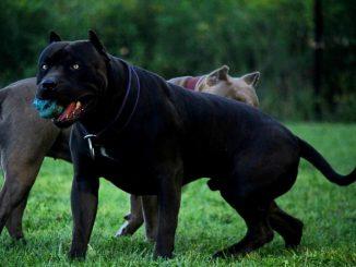 black-pitbull