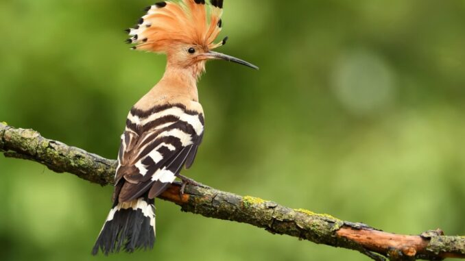 Learn about the African Hoopoe
