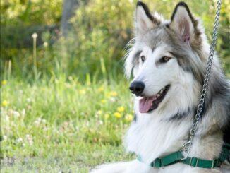 Native American Indian Dog (NAID)